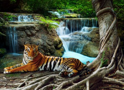 Plakat Indochiny tygrys leżący o relaks pod banyantree przeciwko BEA