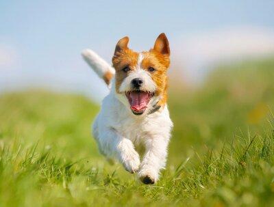 Plakat Jack Russell Terrier pies