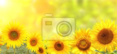 Jasne słoneczniki na żółtym tle
