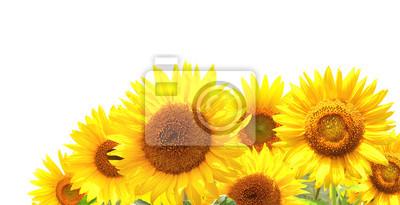 Plakat Jasne żółte słoneczniki