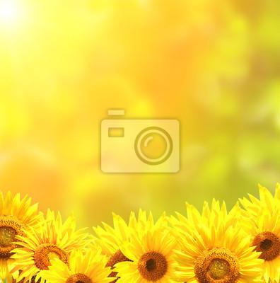 Jasne żółte słoneczniki