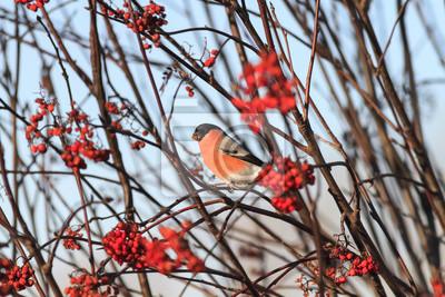 jasny czerwony ptak ptactwa jedzenia dojrza? ych soczystych jagód jesieni górskich w ogrodzie
