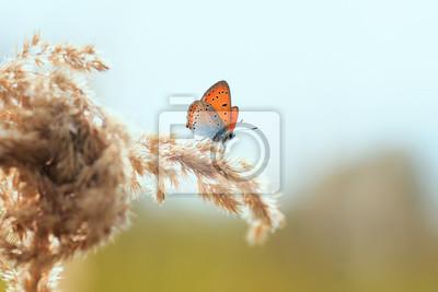 Plakat jasny pomarańczowy motyl siedzi na polu latem z trawą piórko trawy na tle jasny zachód słońca i błękitne niebo