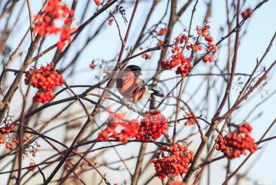 jasny ptak bullfinch jedzenia dojrza? ych soczystych jagód jesieni górskich w ogrodzie