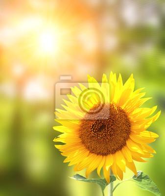 Jasny żółty słonecznik