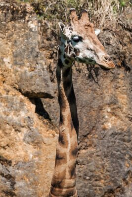 Plakat Jedzenia żyrafa na safari dzikich dysku