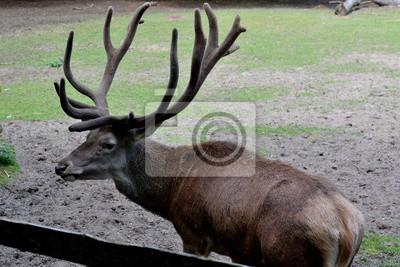 Jeleń W Wolińskim Parku Narodowym Wag Międzyzdrojach Plakaty Redro