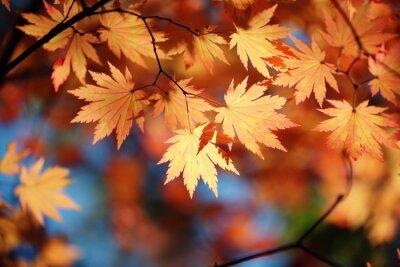 Plakat Jesienne liście klonu