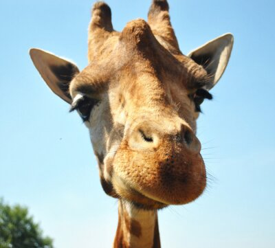 Plakat jirafa Curiosa