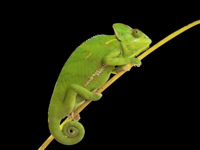 Plakat kameleon