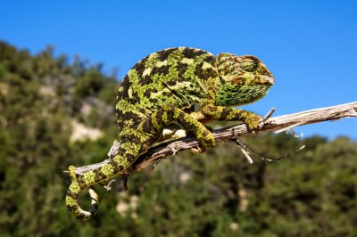 Plakat Kameleon na patyku