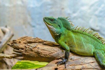 Plakat Kameleon zielony