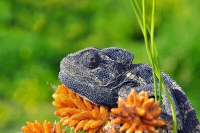 Plakat Kameleon zielony - Image