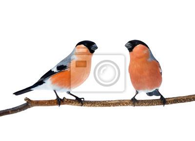 kilka jaskrawo czerwonych ptaków gile siedzi na gałęzi na białym tle