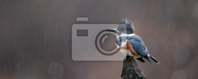 Plakat Kingfisher on a Perch in the Rain