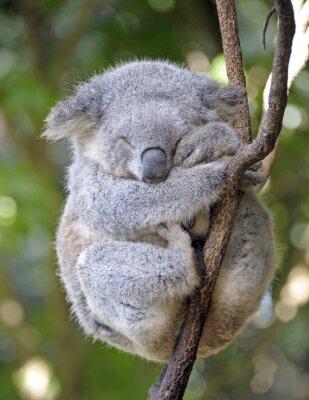 Plakat Koala śpi na drzewie.