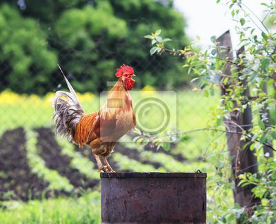 kolorowy czerwony kogut stoi wysoko i wrony na podwórku i farmie