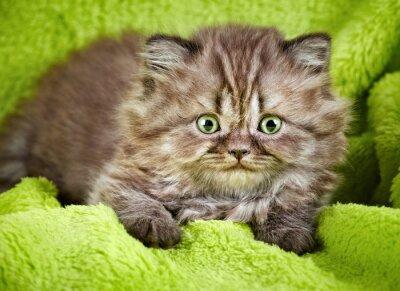 Plakat kot brytyjski długowłosy kociak