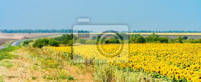 Krajobrazu wiejskiego z pola słoneczników i drogi