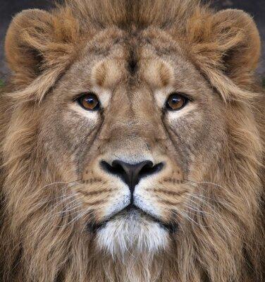 Plakat Król zwierząt, największy kot świata, patrząc prosto w kamerę. Najbardziej niebezpieczne i potężny drapieżnik świata.