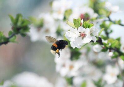 Plakat Kudłaty Bumblebee stronę kwitnących gałęzi Jabłoń w ogrodzie wiosną