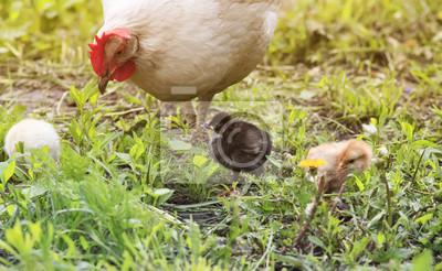 Kura z kurczętami chodzenia po zielonej trawie w gospodarstwie w lecie