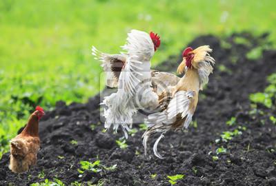Kurczak wygląda jak dwa młode żywy kogut walczyć nad nim