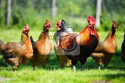 Plakat Kurczaki na tradycyjnej farmie drobiu na wolnym wybiegu
