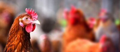 Plakat Kurczęta na tradycyjnej farmie drobiu