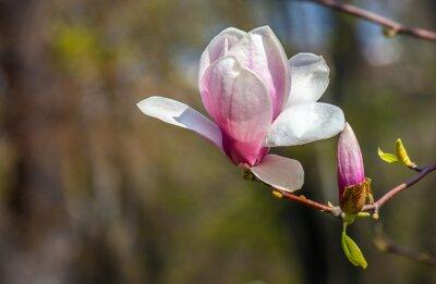 Plakat kwiat magnolii.