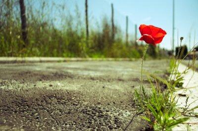 Plakat kwiat maku w betonie: moc koncepcja życia