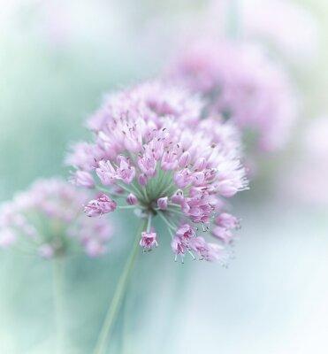 Plakat Kwiaty czosnku