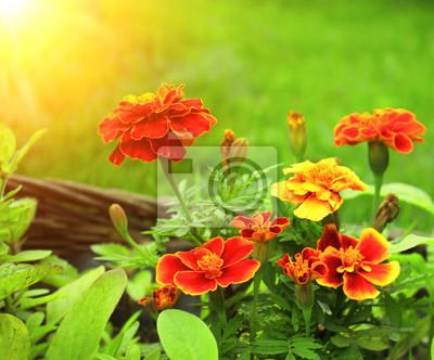 Kwiaty Tagetes patula