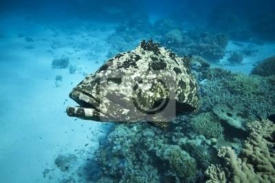 Kwiecisty Dorsz Wielka Rafa Koralowa Australia Plakaty Redro