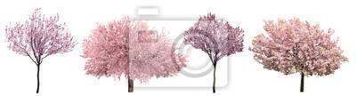 Plakat Kwitnąca różowe Sacura drzewa samodzielnie na białym tle