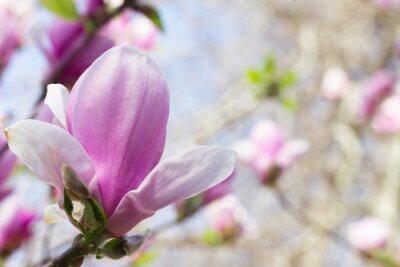 Plakat Kwitnący kwiat magnolii