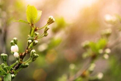 Plakat kwitnienia moreli gałązki w wiosenny poranek
