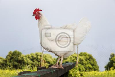 ładny zabawny biały kurczak stoi na podwórku latem na farmie na grzędu