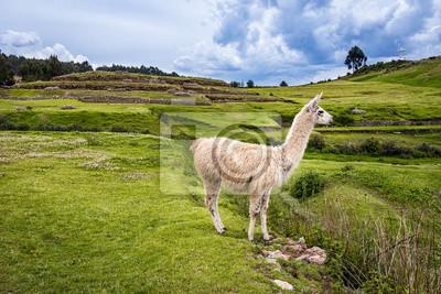 Plakat Lama w górach wokół Cusco, Peru