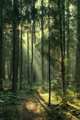 Plakat Landscape, rays of the sun in a dark magic pine forest