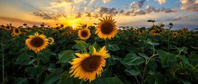 Plakat Lato krajobraz: piękno zmierzch nad słonecznika polem. Widoki panoramiczne