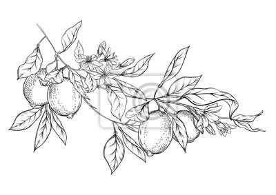Plakat Lemon tree branch with lemons, flowers and leaves. Element for design. Outline hand drawing vector illustration. Isolated on white background..