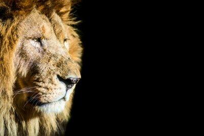 Plakat leone - lion