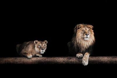Plakat Lew i lwica, portret pięknej lwy, lwy w DA