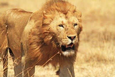 Plakat Lew na Masai Mara w Afryce