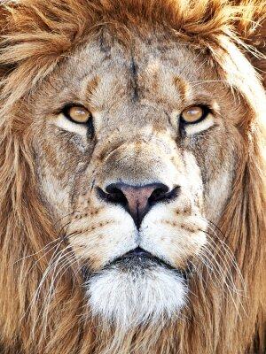 Plakat Lew (Panthera leo)
