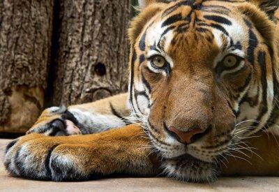 Plakat leżąc tygrysa patrzy w przyszłość