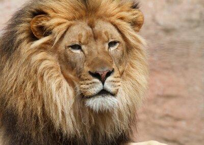 Plakat lion male