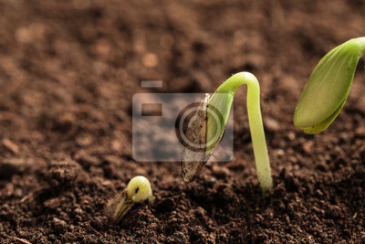 Plakat Little green seedlings growing in soil, closeup view. Space for text