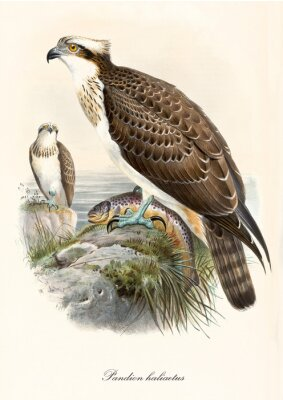Plakat Little hawk on a rock near the sea with a fish captured in its claws. Old colorful vintage illustration of Osprey (Pandion haliaetus). By John Gould publ. In London 1862 - 1873